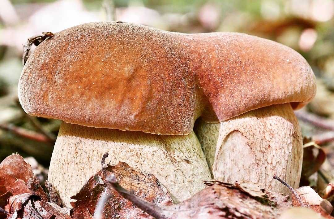 станет грибы литвы фото надоели