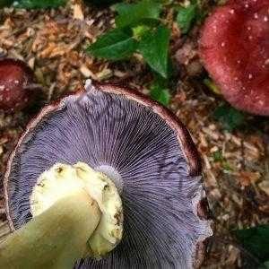 Строфария морщинисто-кольцевая