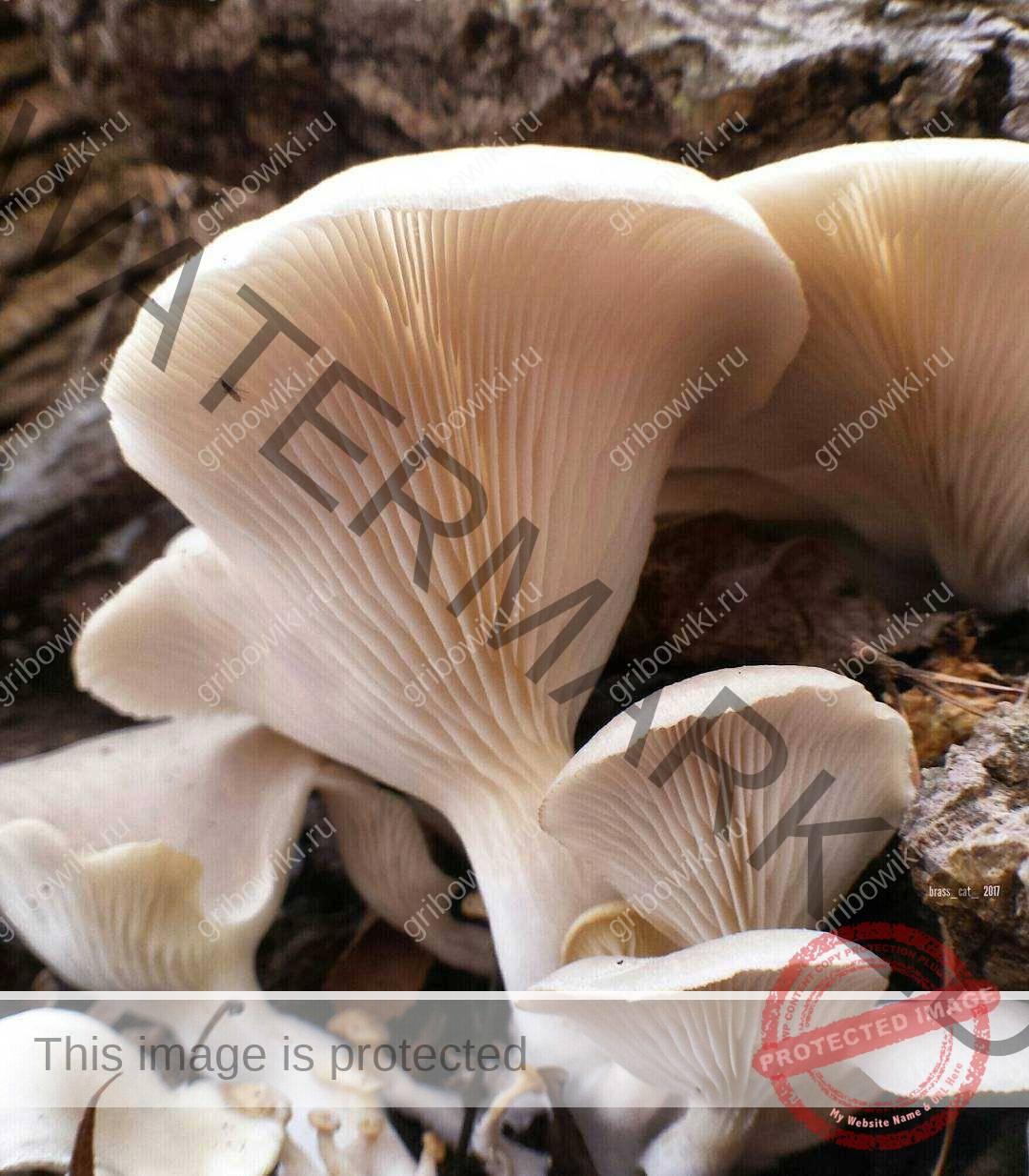 несъедобные грибы вешенки фото дымовые
