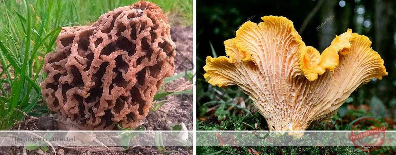 Классификация съедобных грибов. Категории пищевой ценности грибов