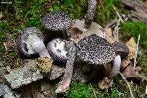 Желчный гриб — описание внешнего вида, сезонность, вкусовые качества   69 фото