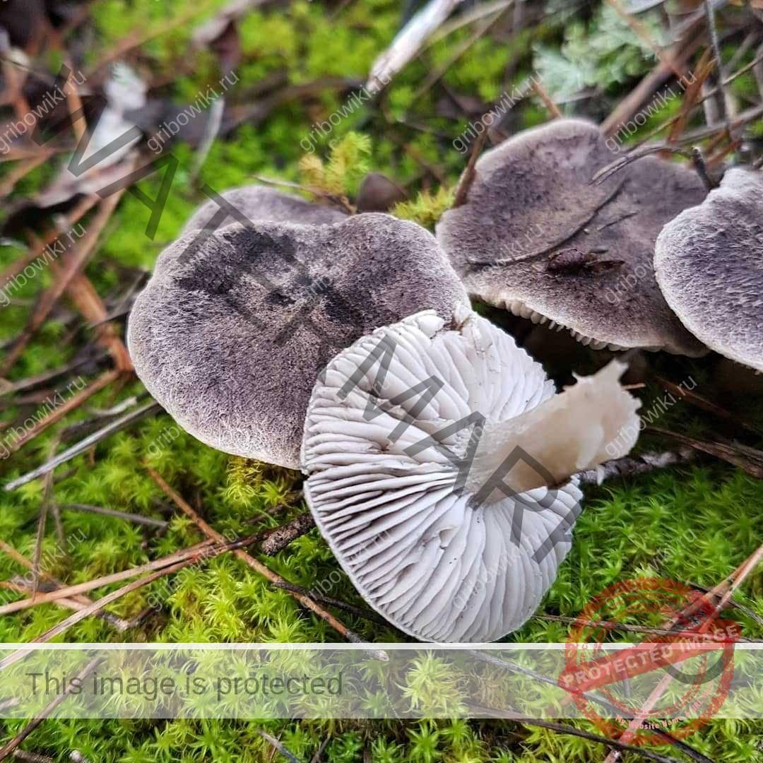 фото грибов рядовок съедобных время, которое лена