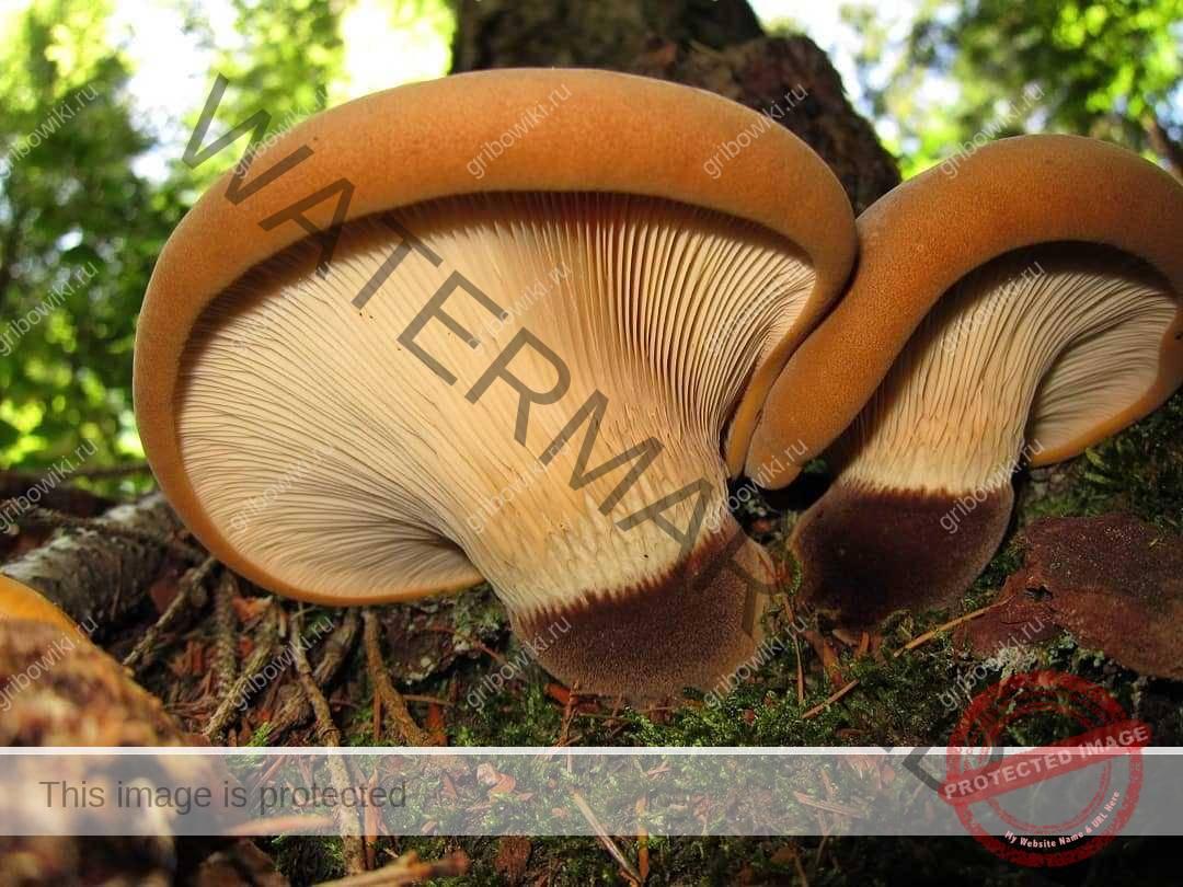 гриб дунька фото и описание судьба