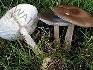 Меланолеука черно-белая