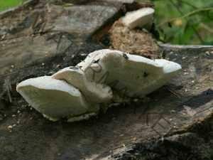 Аурантипорус расщепляющийся