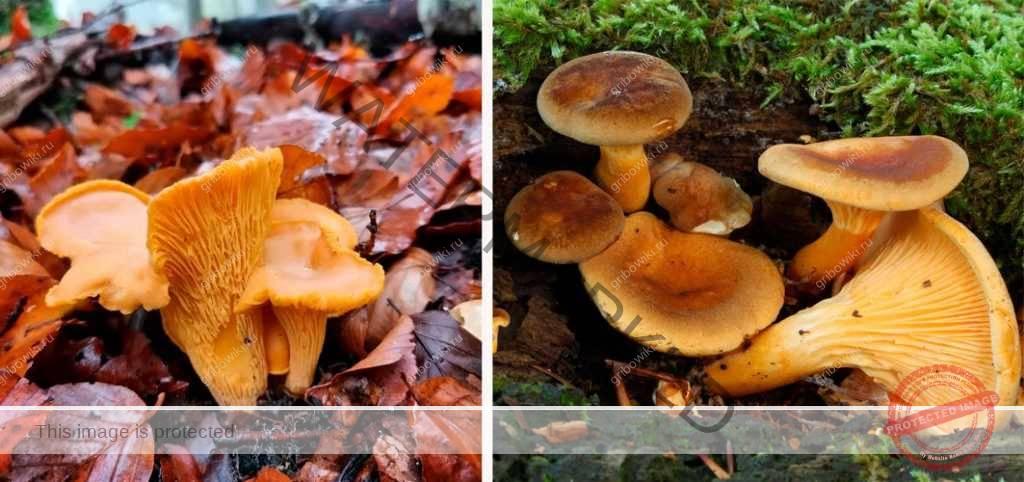 Как определить грибы поганки