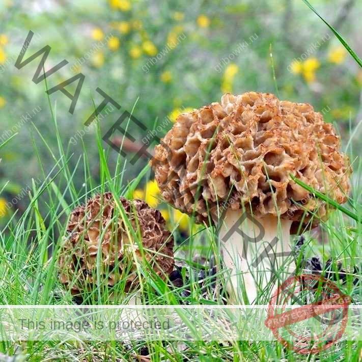Каковы виды на весенний грибной урожай? Отправляемся на сбор с лукошком