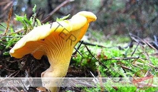 съедобные грибы ставропольского края названия